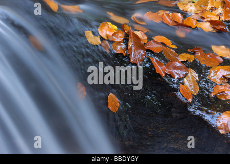 Close-Up of Autumn Leaves on Rock in Flowing Stream, Bavarian Forest National Park, Bavaria, Germany - Stock Photo