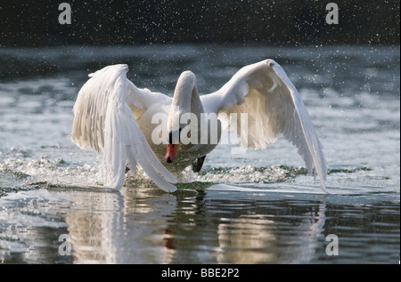 Mute Swan (Cygnus olor), attacking male - Stock Photo
