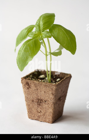 Genovese basil seedling - Stock Photo