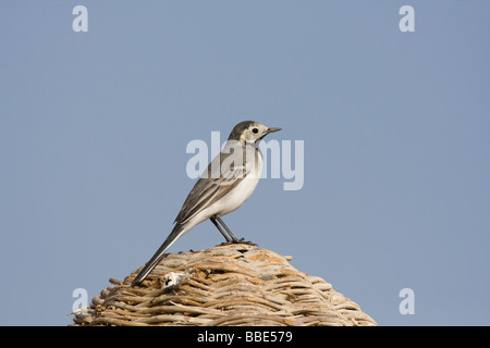 White Wagtail Motacilla alba alba sitting on roof of beach hut in Nabq Bay, Sharm El Sheik, Egypt. - Stock Photo