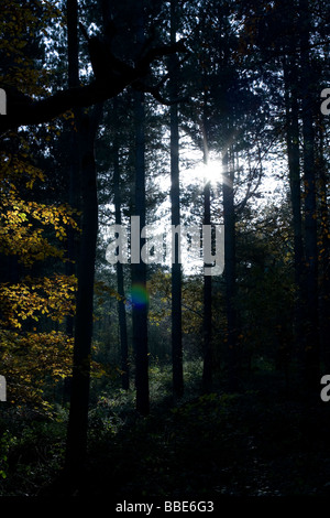 Autumn sun breaks through the trees lighting up the yellow leaves - Stock Photo