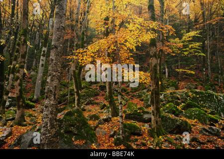 Beech forest in autumn, Ordesa Valley, Spanish Pyrenees - Stock Photo