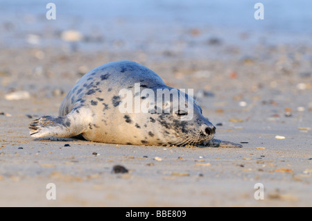 Gray seal (Halichoerus grypus) - Stock Photo