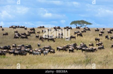 Blue Wildebeests (Connochaetes taurinus) and Grant's Zebras (Equus quagga boehmi) in the steppe of the Masai Mara - Stock Photo