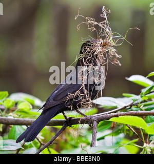 Male Blackbird (Turdus merula) nesting - Stock Photo