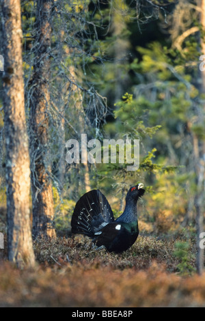 Capercaillie (Tetrao urogallus), Wood Grouse, Western Capercaillie, displaying courtship, Sweden, Europe - Stock Photo