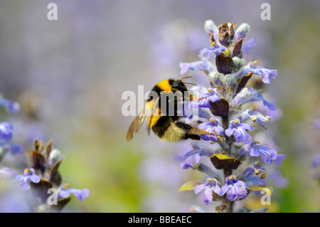 Large Earth Bumblebee (Bombus terrestris) pollinating a Common Bugle (Ajuga reptans) - Stock Photo