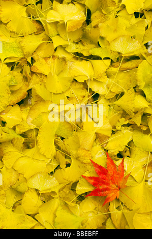 Red Japanese Maple Leaf on Bed of Yellow Gingko Leaves - Stock Photo