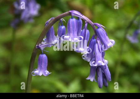 Common or English Bluebell Hyacinthoides non-scripta - Stock Photo