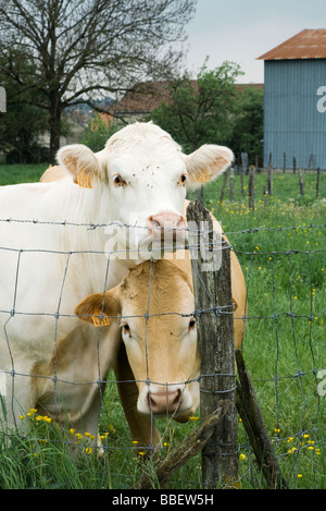 Cows standing beside wire fence, looking at camera - Stock Photo