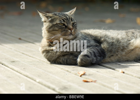 Tabby cat relaxing on deck - Stock Photo