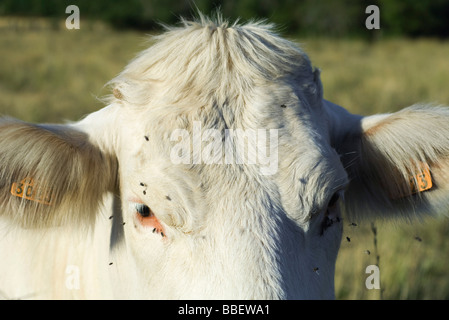 White cow with flies buzzing around its face, close-up - Stock Photo