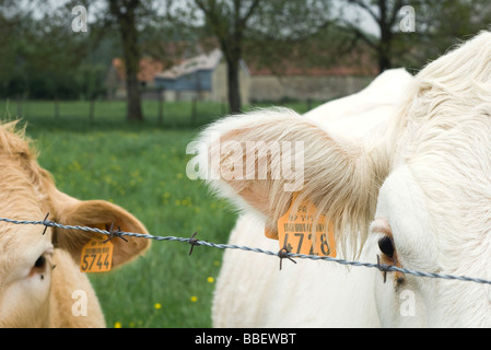 Cattle with ear tags behind barbed wire, close-up - Stock Photo