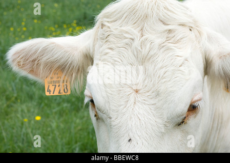White cow with tagged ear, extreme close-up - Stock Photo