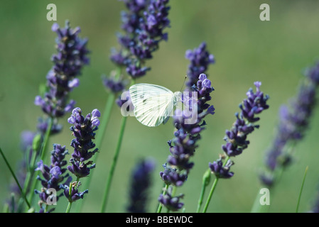 Small butterfly on lavender flowers - Stock Photo