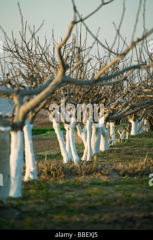 Bare fruit trees in orchard - Stock Photo