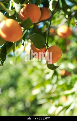 Oranges ripening on branch - Stock Photo