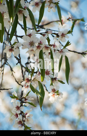 Branch of almond tree in blossom - Stock Photo