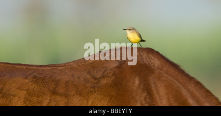 Cattle Tyrant perched on a horse's back - Stock Photo