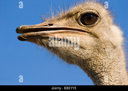 close up portrait of the ostrich looking left on blue clean sky background - Stock Photo