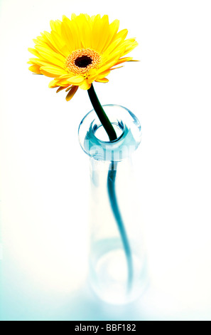 Yellow Daisy  Gerber flower creatively lit in a studio - Stock Photo