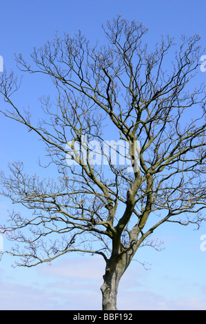 A Tree, Just Budding, Outlined Against a Blue Sky - Stock Photo