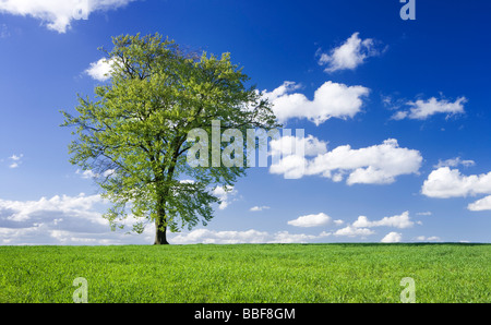 Single beech tree in field of young growing crop. UK. - Stock Photo