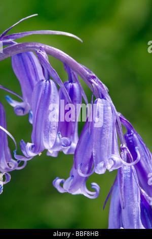 Bluebell flowers, Hyacinthoides non-scripta (Endymion non-scriptus). UK. - Stock Photo