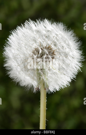Dandelion seed head. Taraxacum. UK. - Stock Photo