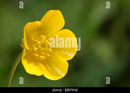 Buttercup flower, close-up. Meadow buttercup, Ranunculus acris. UK. - Stock Photo