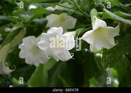 Angel Trumpet, Angel's Trumpet Tree or Datura, Brugmansia arborea, Solanaceae, Tropical South America - Stock Photo