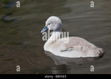 Young Mute Swan cygnet Cygnus olor Shropshire England UK United Kingdom GB Great Britain British Isles Europe EU - Stock Photo