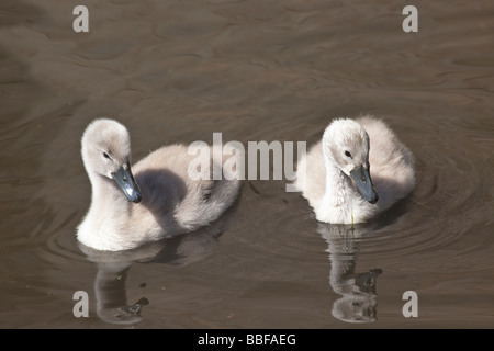 Two young Mute Swan cygnets Cygnus olor Shropshire England UK United Kingdom GB Great Britain British Isles Europe - Stock Photo