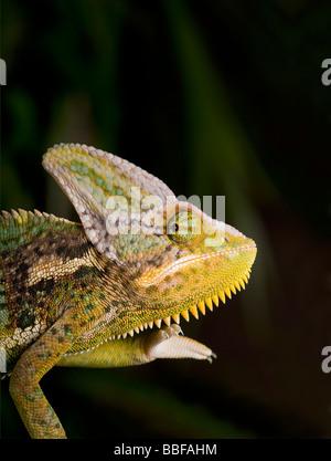 Male veiled or Yemen chameleon Chamaeleo calyptratus has a large casque on head - Stock Photo