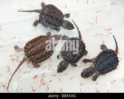Baby alligator snapping turtles Macrochelys temminckii with bloodworms for sale in Hong Kong - Stock Photo