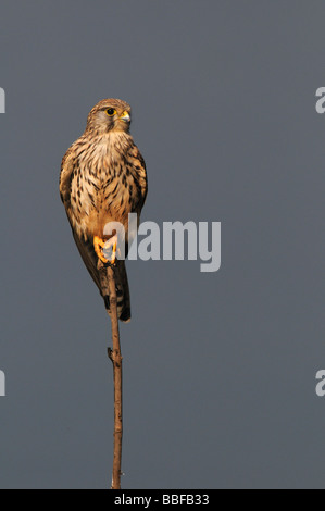 Common Kestrel Falco Tinnunculus Portrait - Stock Photo
