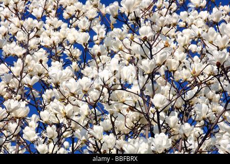 White magnolia flowers blooming against sunny blue sky Magnolia denudata - Stock Photo
