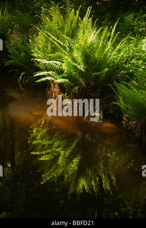 Scaly Male Fern Dryopteris affinis growing near river in spring sunshine Wales Cymru UK United Kingdom GB Great - Stock Photo