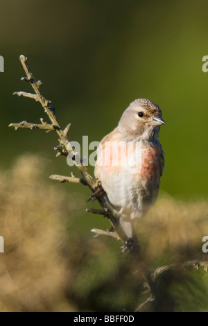 Male Linnet (Carduelis cannabina) perched on gorse branch - Stock Photo