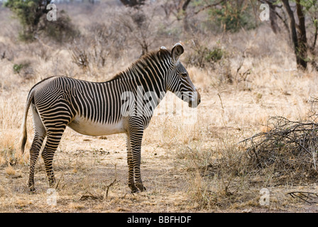 Grévy s zebra Equus grevyi SAMBURU NATIONAL RESERVE KENYA East Africa - Stock Photo