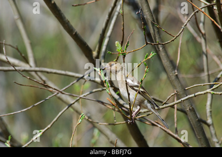 Common Chaffinch Fringilla coelebs - Stock Photo