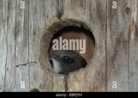 Common Swift Apus apus in nestbox - Stock Photo
