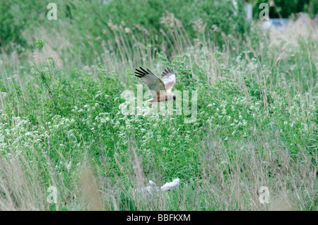 Marsh Harrier Circus aeruginosus hunting - Stock Photo