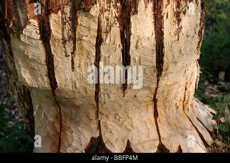 Tree trunk gnawed by a beaver - Stock Photo