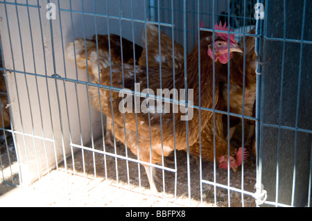 battery hens hen cage caged egg eggs animal welfare crampt cramped small tiny space enhanced intensively farmed - Stock Photo