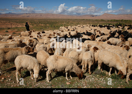 Africa, North Africa, Morocco, High Atlas Mountains, Dades Valley, Berber Woman Tending Sheep and Goats - Stock Photo
