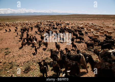 Africa, North Africa, Morocco, High Atlas Mountains, Dades Valley, Sheep and Goat Herd - Stock Photo