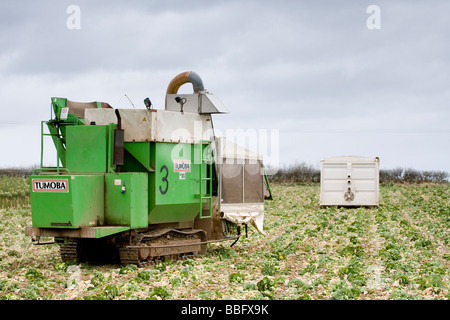 The harvesting of Brussels sprouts in the Scottish Borders - Stock Photo