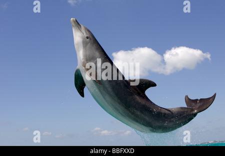 Atlantic bottlenose dolphin. - Stock Photo