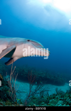Underwater image of dolphin. - Stock Photo